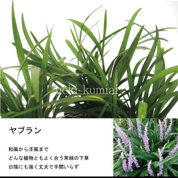 ヤブラン 藪蘭 苗
