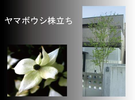 ヤマボウシ 株立ち 人気のシンボルツリー