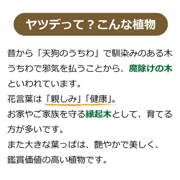斑入りヤツデ 紬絞り (ツムギシボリ)