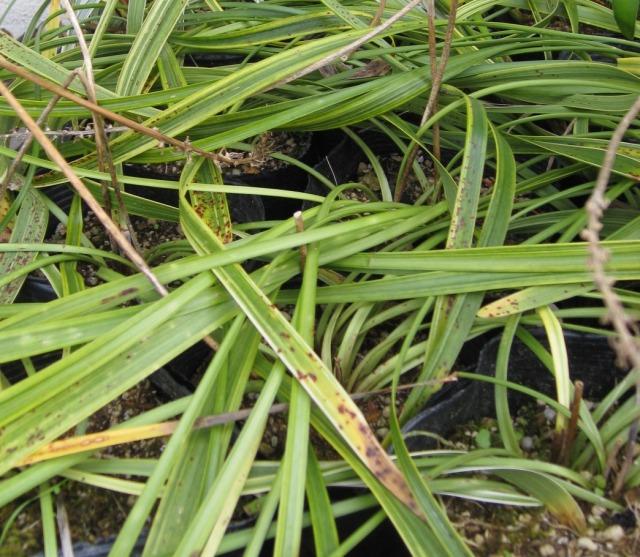 斑入りヤブラン 冬の葉