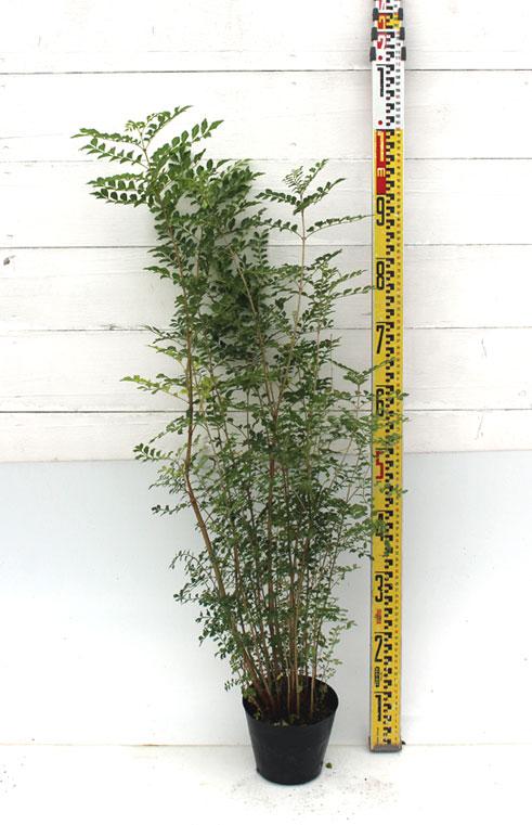 シマトネリコ 1m苗木