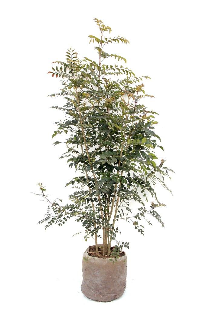 植木組合 シマトネリコ