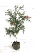 ブラシの木 ブラシノキ ドーソンリバー 金宝樹