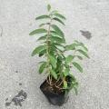 ヒペリカムカリシナム 苗