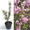 庭桜 ニワザクラ ピンク