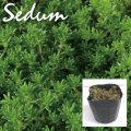 植木組合の セダム 多肉植物 モリムラマンネングサ 万年草