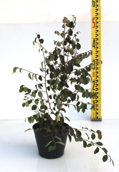 トキワマンサク青葉白花 40cm