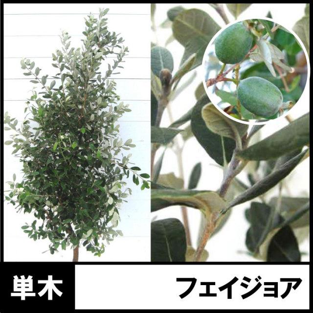 フェイジョア フェイジョアの木 樹木 植木 苗