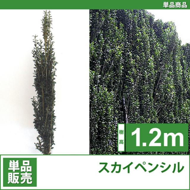 人気の生垣 スカイペンシル 苗 樹木 植木