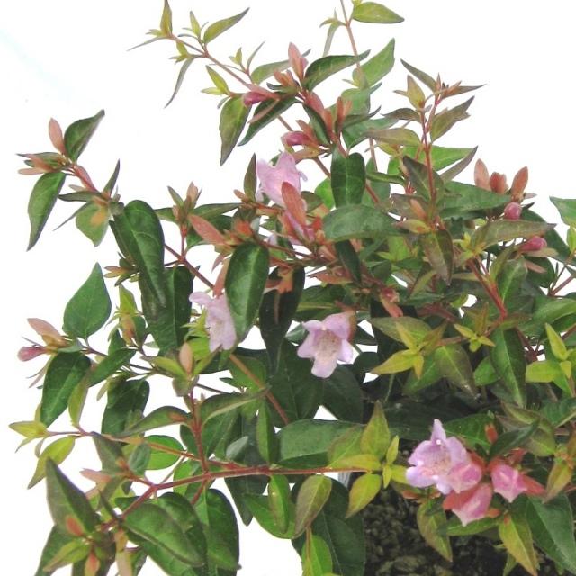アベリア 赤花 エドワードゴーチャ