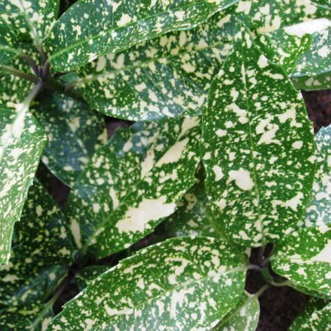フイリアオキ 斑入り葉 (斑入青木)