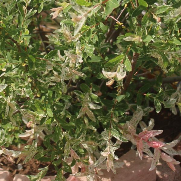 ハクロニシキ 白露錦 カラーリーフ 低木