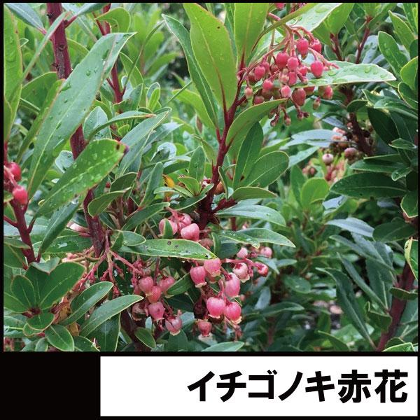 イチゴノキ ストロベリーツリー 赤