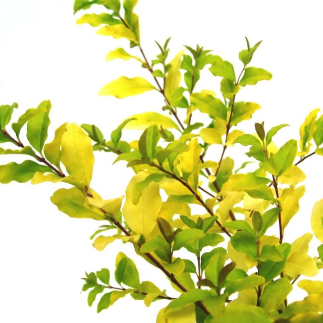 プリペット レモンライムアンドクリッパーズ  葉 黄斑 レモンアンドライム