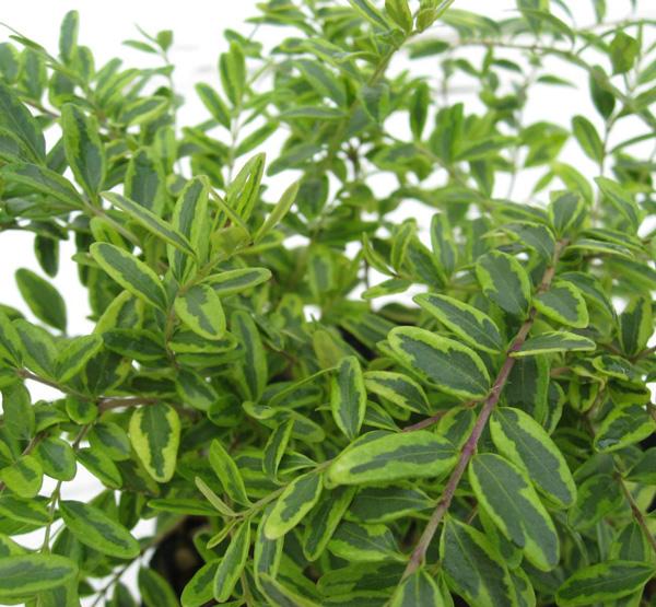 ロニセラニチダ レモンビューティー (ロニセラニティダ 斑入り葉)  苗
