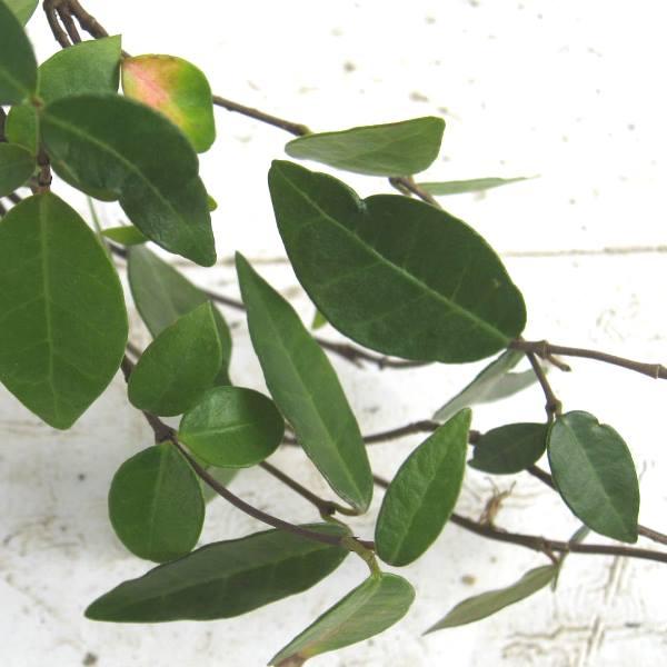 テイカカズラ 苗 葉