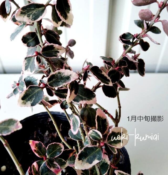 アメリカツルマサキ エメラルドガイティ 斑入り葉 苗 ポット入 常緑低木