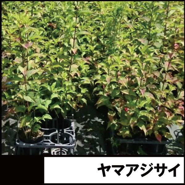 山アジサイ ヤマアジサイ 紫陽花