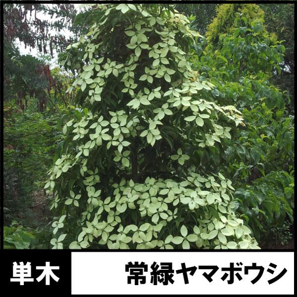 常緑ヤマボウシ ホンコンエンシス