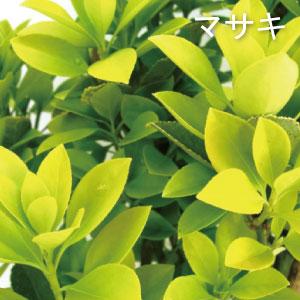マサキ 生垣 植木組合 正木 黄金 オウゴンマサキ