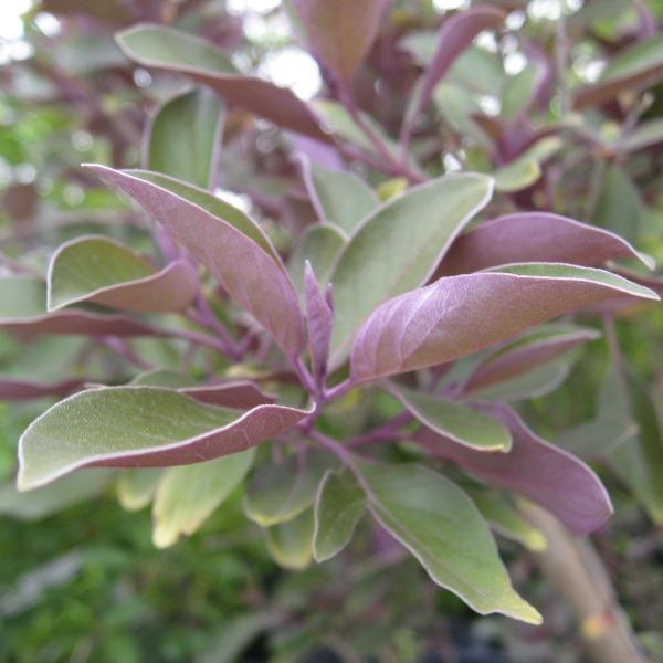 ミツバハマゴウ プルプレア 葉