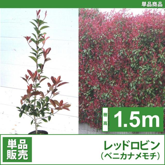 レッドロビン (西洋紅カナメ・アカメ)1.5m 単品 【業者仕入向け】