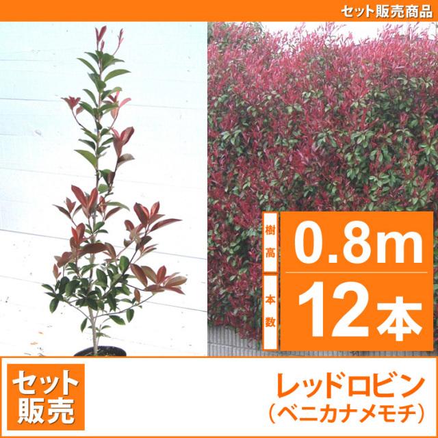 レッドロビン (西洋紅カナメ・アカメ)0.8m 12本セット販売 【業者仕入向け】