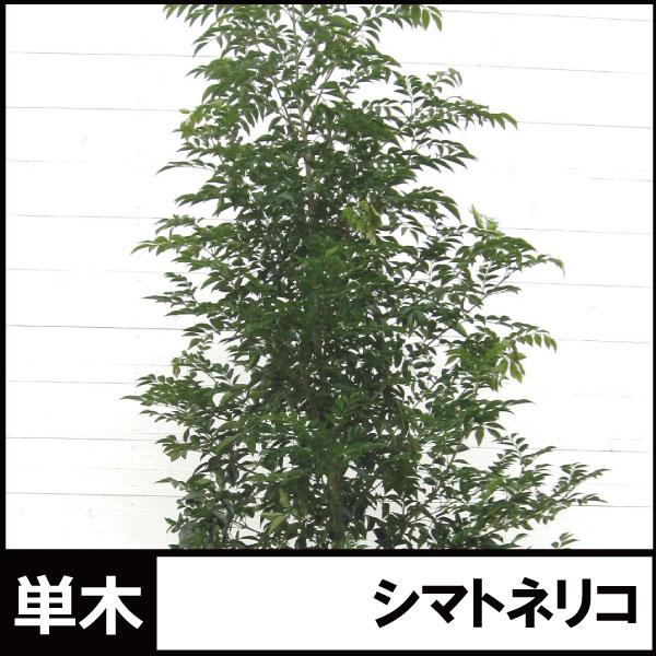 シマトネリコ 単木 1本立