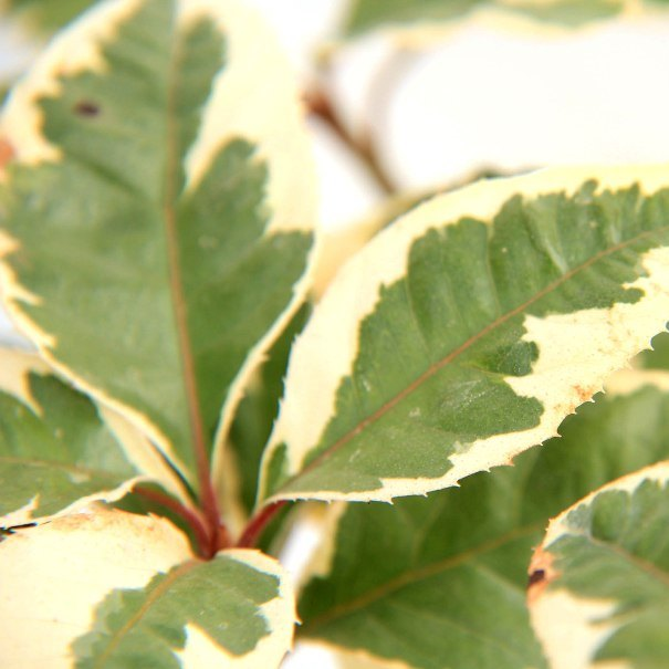 ヤブコウジ 藪柑子 十両  フイリ 斑入り