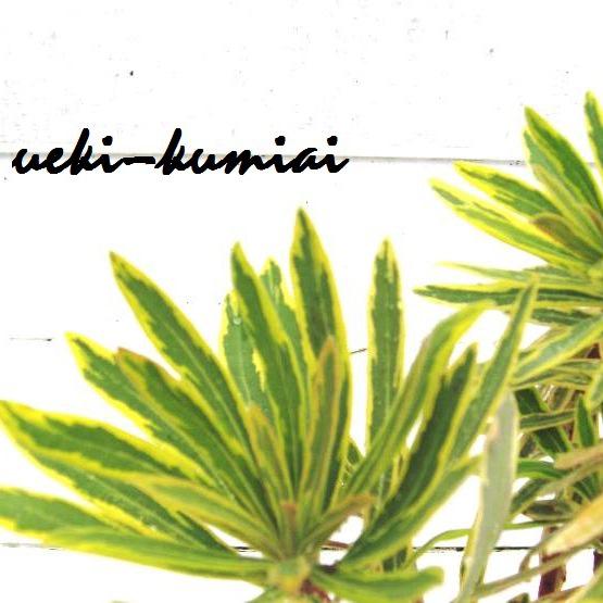 ユーフォルビア ユーホルビア アスコットレインボー 斑入り