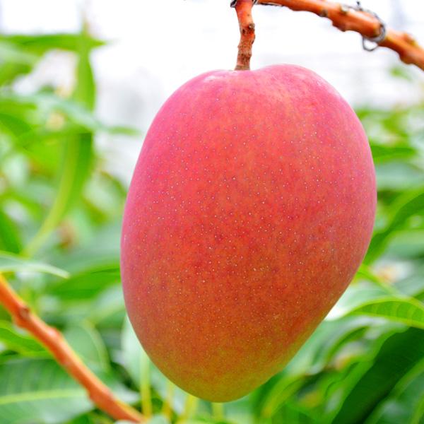 【予約受付終了】石垣島産完熟マンゴー 1kg(2~3玉) 送料込