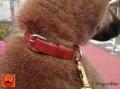 【モニター価格】パピー(仔犬)お散歩用慣らし首輪 本牛革製 無地プレーン 一枚革 【SS~Mサイズ・カラーがお選び頂けます】 ネコポス送料無料