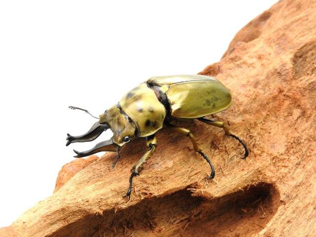 オニクワ/ローゼンベルグオウゴンオニ1-2齢幼虫 1頭 カワラ菌糸800ccボトル付き!