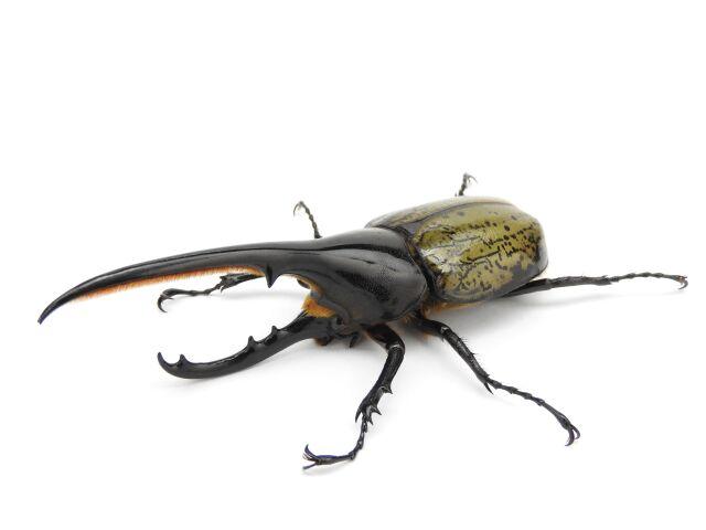 ヘラクレス・ヘラクレス♂128mm ペア プロゼリー60g一袋お試しセット 【昆虫ゼリー10%OFF対象商品!!】