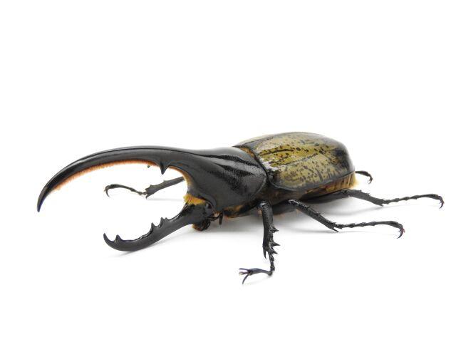 ヘラクレス・ヘラクレス♂123mm ペア プロゼリー60g一袋お試しセット 【昆虫ゼリー10%OFF対象!!】