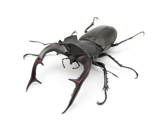 アクベシアヌスミヤマクワガタ♂92mm同腹♀2頭+異腹♀2頭