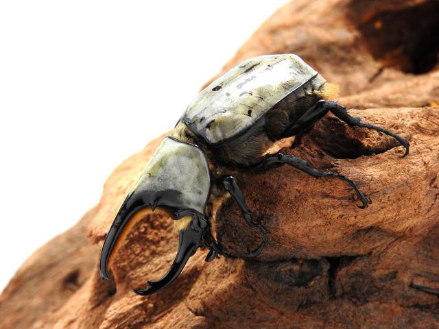 シロカブト/グラントシロカブト3齢幼虫後期 ペア