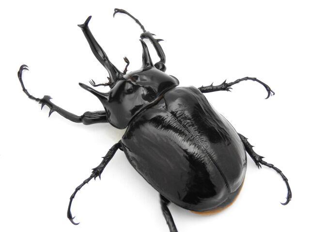 マルスゾウカブト3齢幼虫ペア