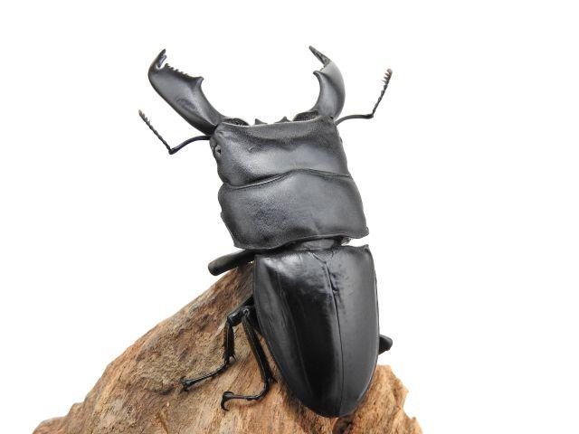 スマトラオオヒラタクワガタ幼虫