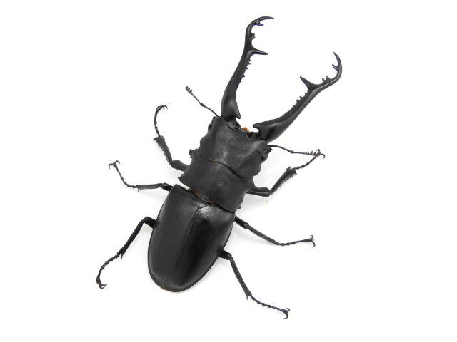 ノコギリ/ギラファノコギリクワガタ1-2齢幼虫 1頭 ヒラタケ菌糸800ccボトル付き!