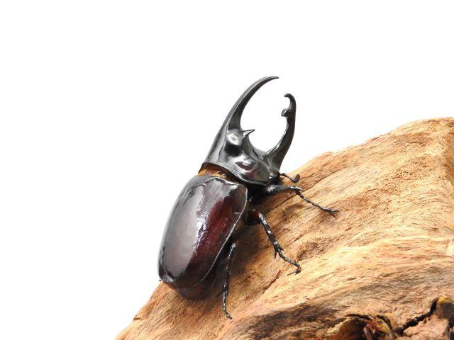 【珍品!!】オオカブト/ケンタウルスオオカブト1-2齢幼虫 1頭