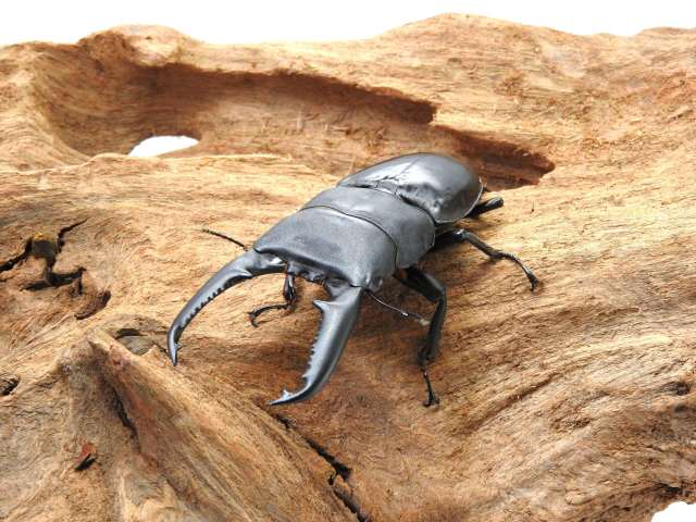 オオヒラタ/パラワンオオヒラタ1-2令幼虫 1頭 WF2