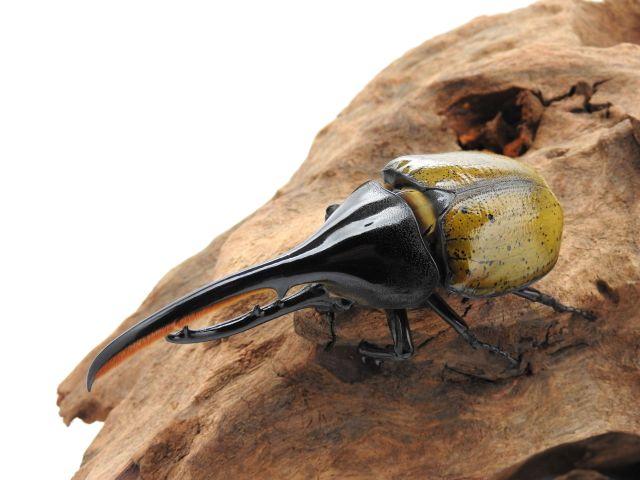 ヘラクレスオオカブト/ヘラクレス・エクアトリアヌス3齢幼虫 ペア