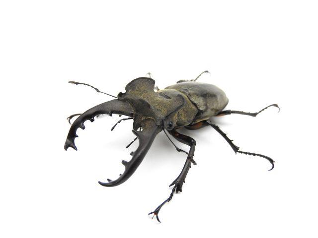 国産ミヤマクワガタ幼虫