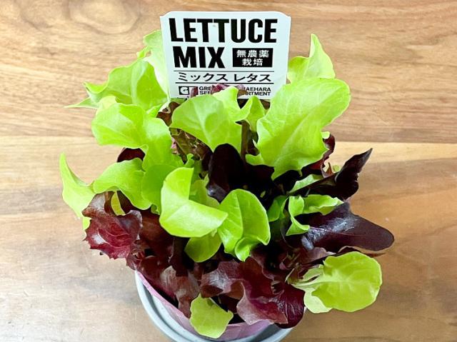 おうちで収穫♪楽しいポット野菜 ミックスレタス(ベビーリーフ10g)【0.3kg】