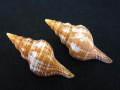 ナガイトマキボラ小【約7±0.5cm/2本入】貝 貝殻 シェル 巻貝 インテリア ハンドメイド マリン ハワイアン