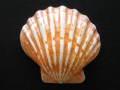 レェロピクテンサブノドソス オレンジ磨き-片面-【約13.5~14.5cm/1個】