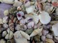 貝殻ごちゃまぜミックス-B品-【約1.5~8cm/約500g】