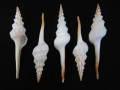 ■メール便可(3袋まで)■ホソニシ小【約11±1cm/5本入】貝 貝殻 シェル 巻貝 インテリア ハンドメイド マリン ハワイアン