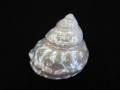 アストレアウンドーサ真珠磨き【約7±0.5cm/1個】